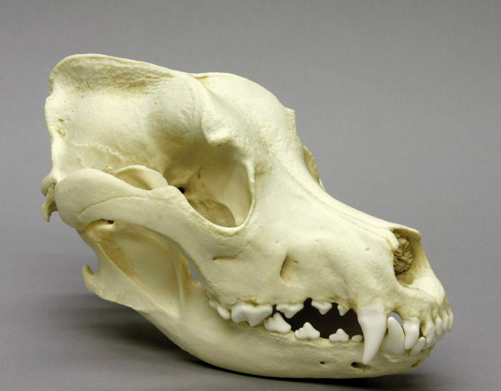 Модель черепа собаки