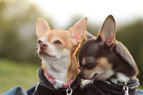 Пара собачек чихуахуа