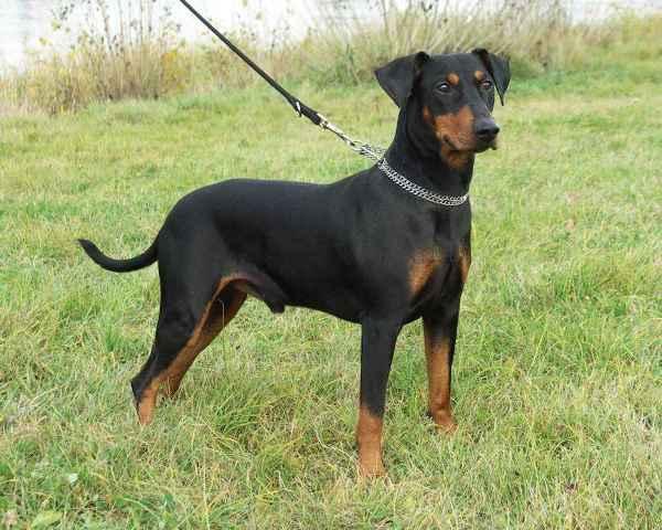 Собака породы немецкий пинчер на поводке