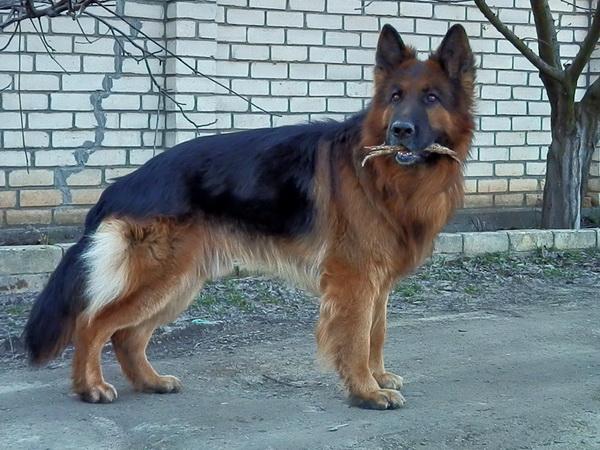 Длинношерстный пес с палкой