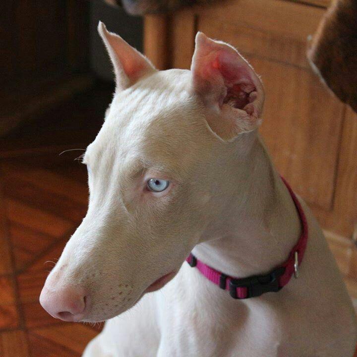 Морда голубоглазого добермана-альбиноса