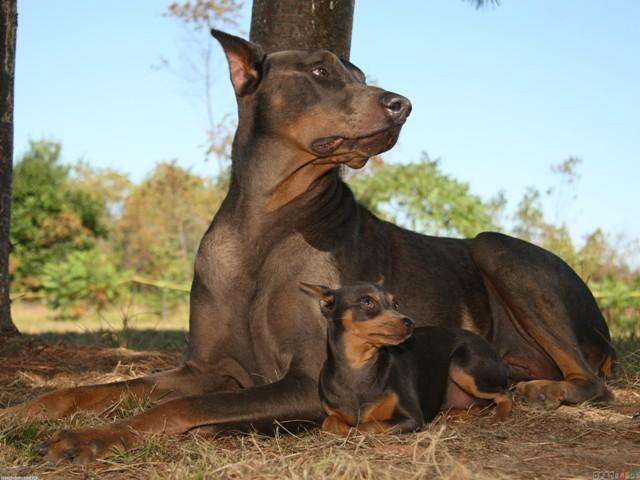 Доберман со щенком
