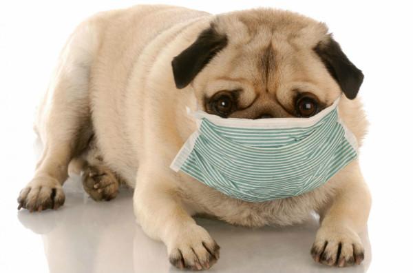 Больная собака в маске