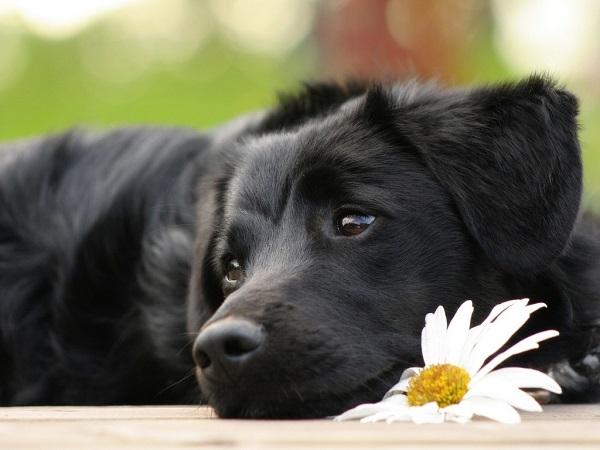 Черная собака с ромашкой