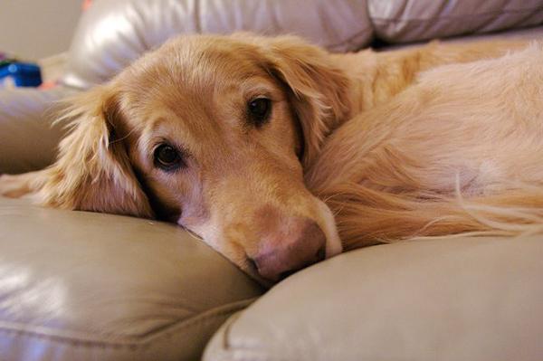 Грустный пес лежит на диване