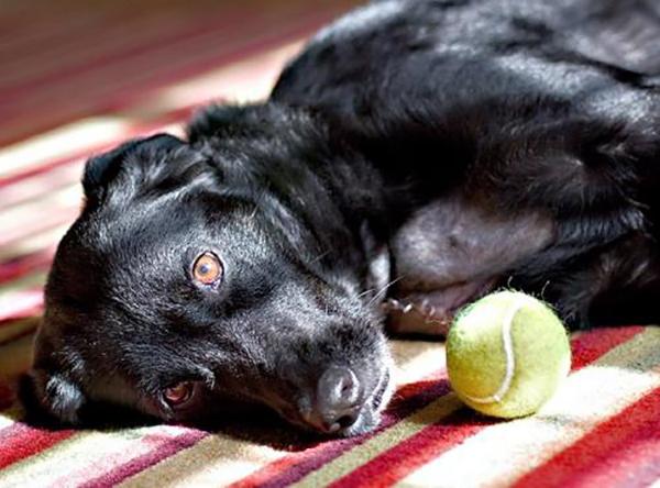 Собака лежит с мячиком