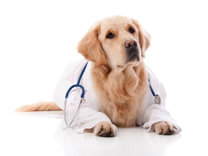 Собака со стетоскопом