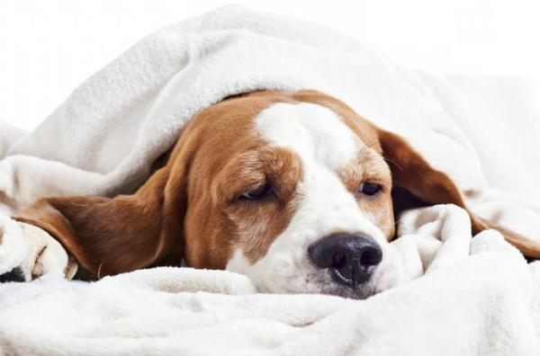 Собака с грустной мордой лежит под одеялом