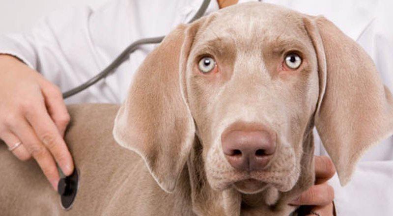 Ветеринарный врач прослушивает собаку