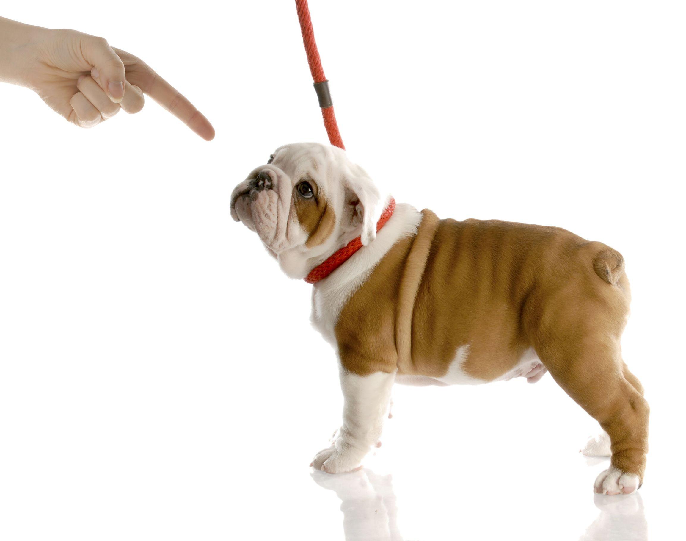 Дрессировка собаки и обучение командам