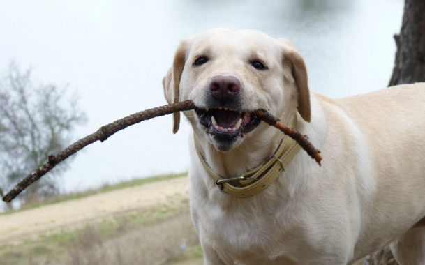 Лабрадор с веткой от дерева в пасти