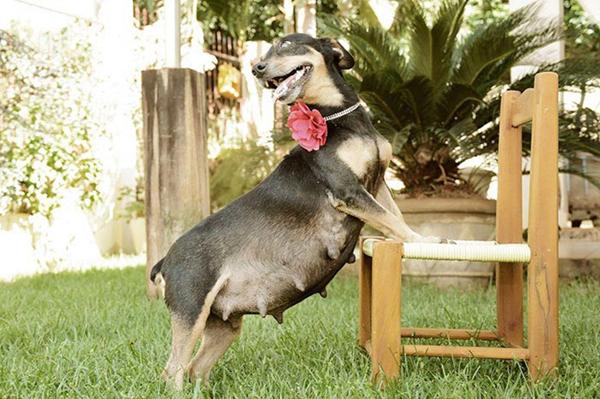 Беременная собака на стуле