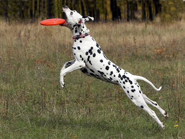 Собака играет в фрисби