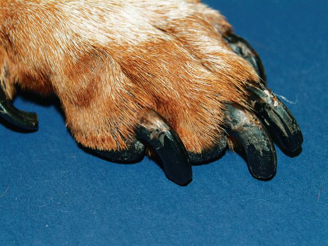 Лапа собаки с признаками гипотиреоза