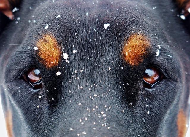 Глаза добермана в снегу