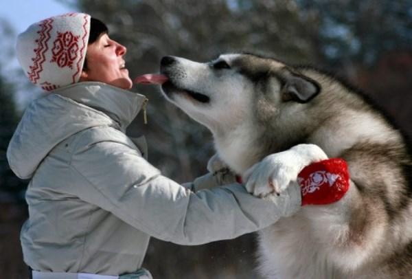 Аляскинский маламут играет с хозяйкой