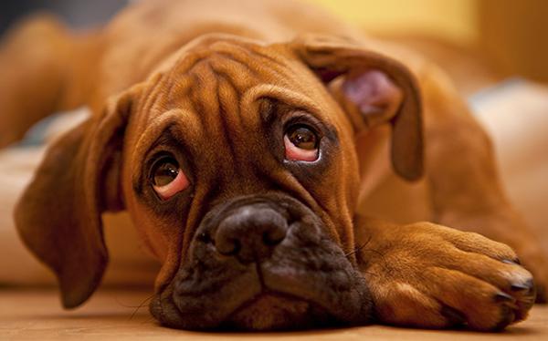 Виноватый взгляд собаки