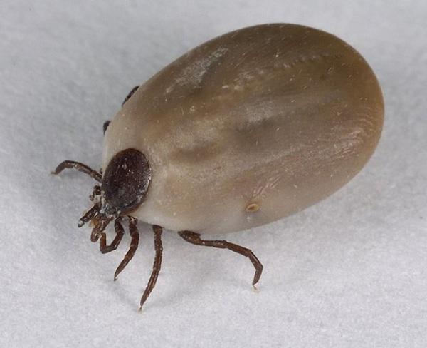 Иксодовый паразит