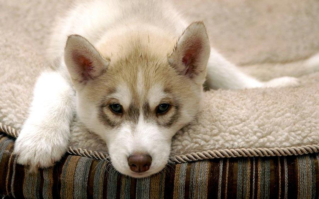 Хаски лежит на диване