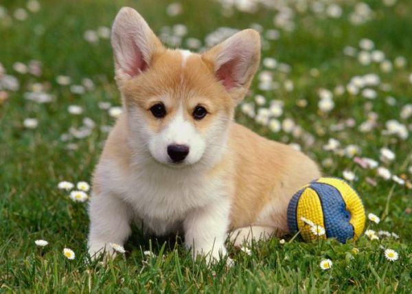 Щенок породы Вельш Корги на лужайке с мячиком