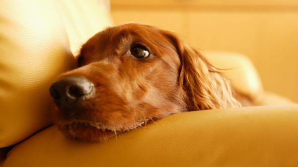 Грустный пес на светлом диване