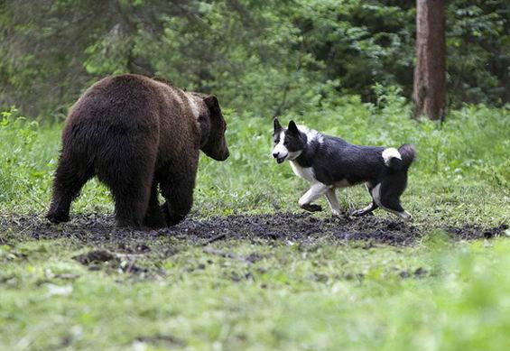 Собака лайка и медведь