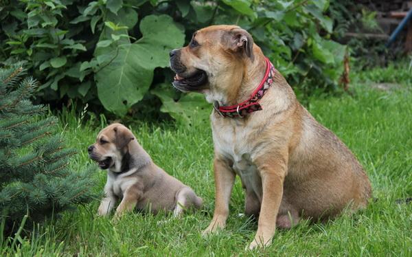 Майорский мастиф со щенком