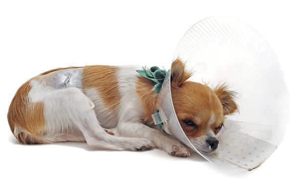 Собака, подготовленная к операции