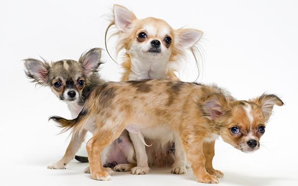 Подросшие щенки чихуахуа