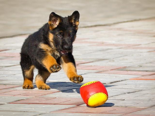Обучение щенка простым командам