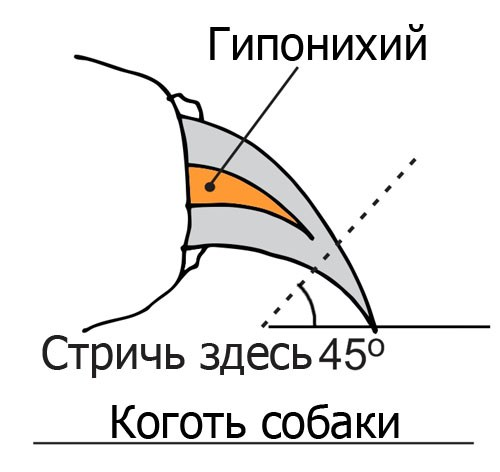 Схематический рисунок строения собачьего когтя