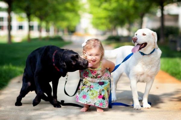 Маленькая девочка с двумя лабрадорами