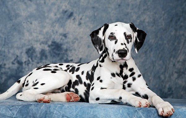 Далматская собака позирует
