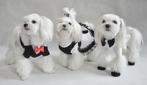 Три щенка-мальтезе принарядились