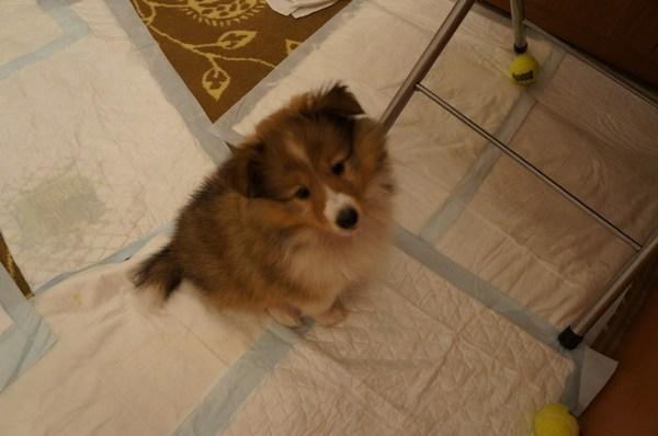 Собака сидит вокруг пеленок