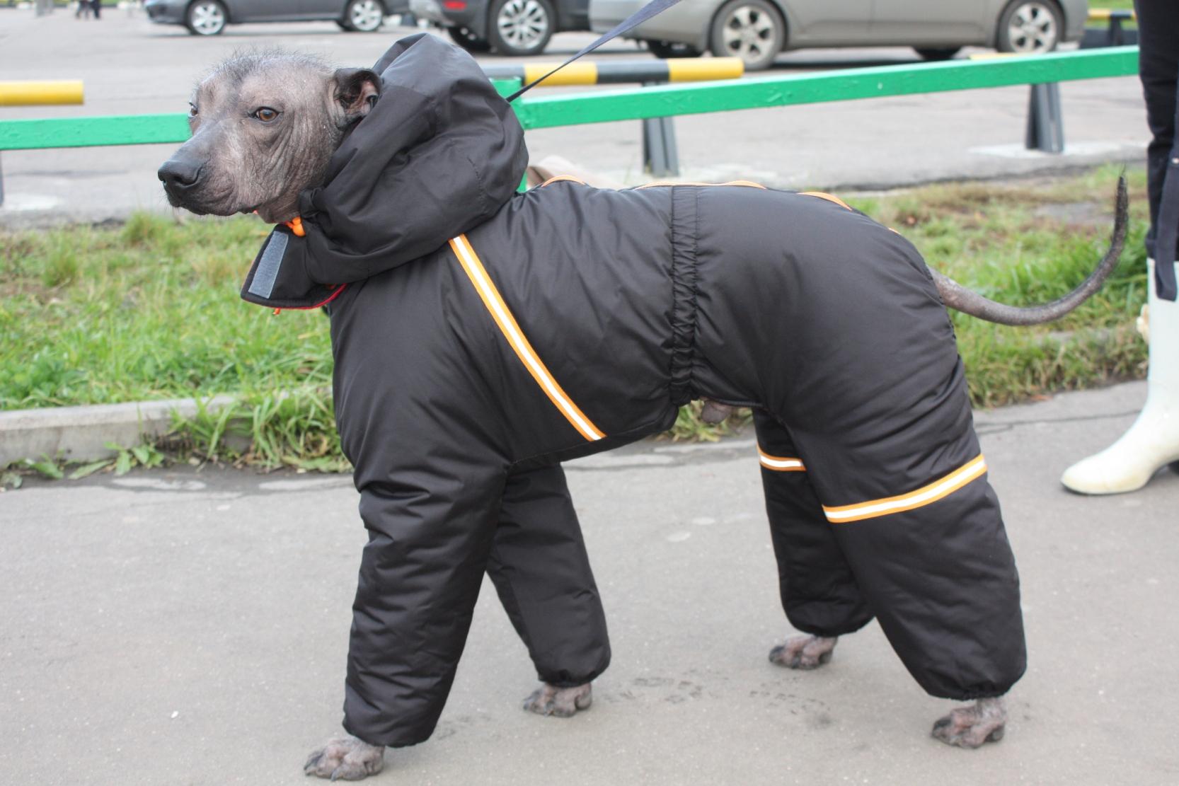 Мексиканская голая собака в комбинезоне