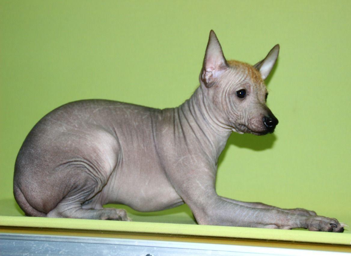 Молодая мексиканская голая собака