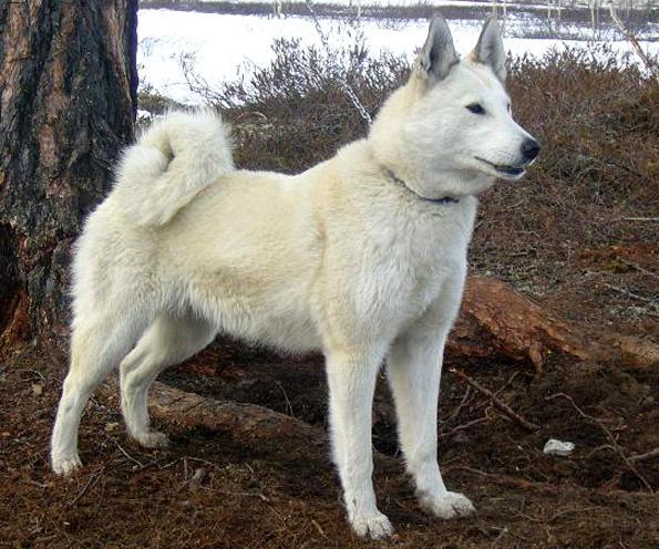 Собака на привязи