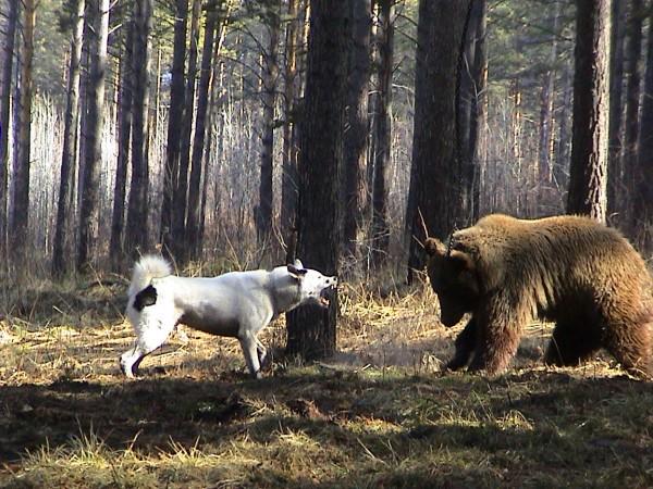 Собака нападает на медведя в лесу