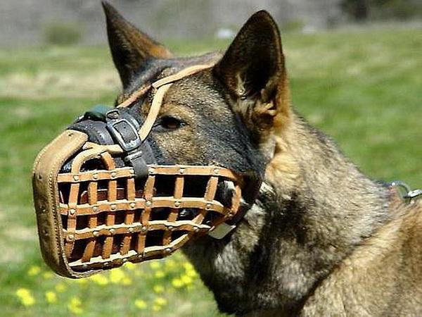 Собака в мощном наморднике
