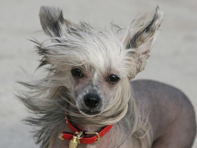 Китайская голая собака с развивающейся гривой