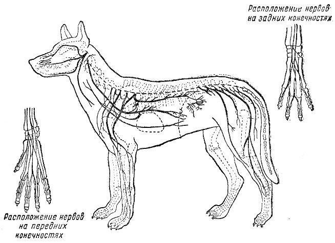 Периферическая нервная система собаки