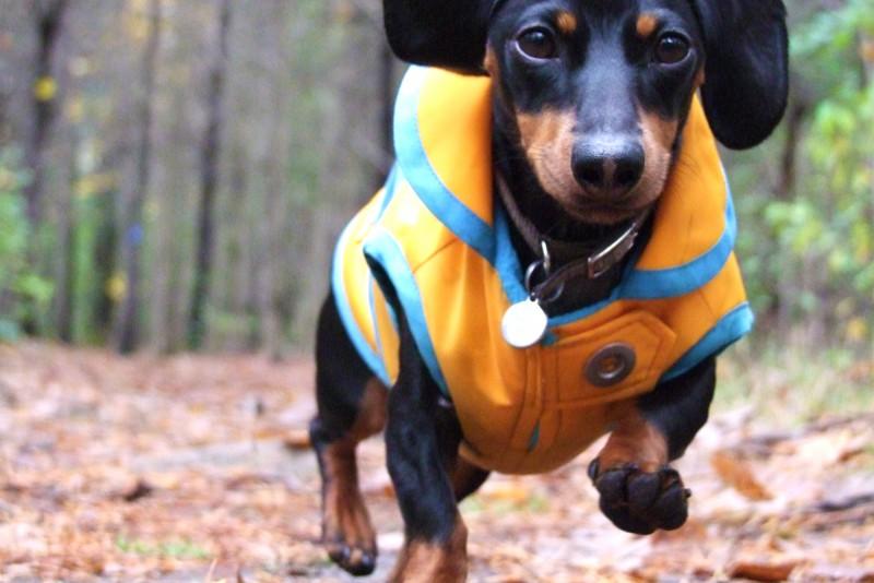 Такса в курточке на прогулке