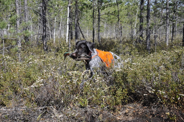Дойтчдрахтаар на охоте в лесу