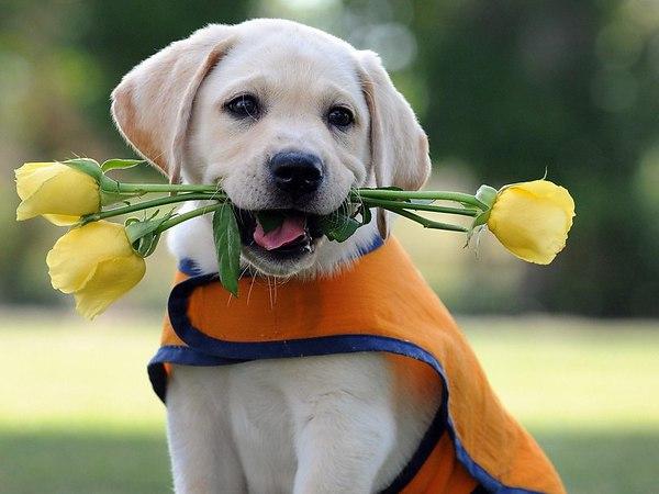 Лабрадор Ретривер с цветами