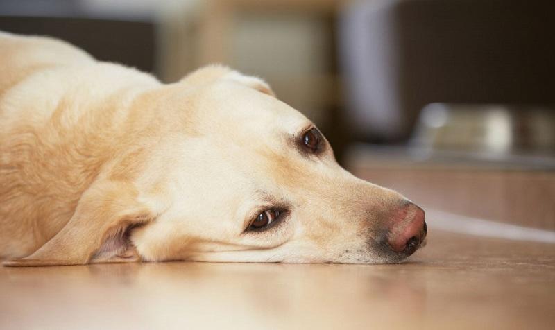 Ослабленная собака лежит на полу