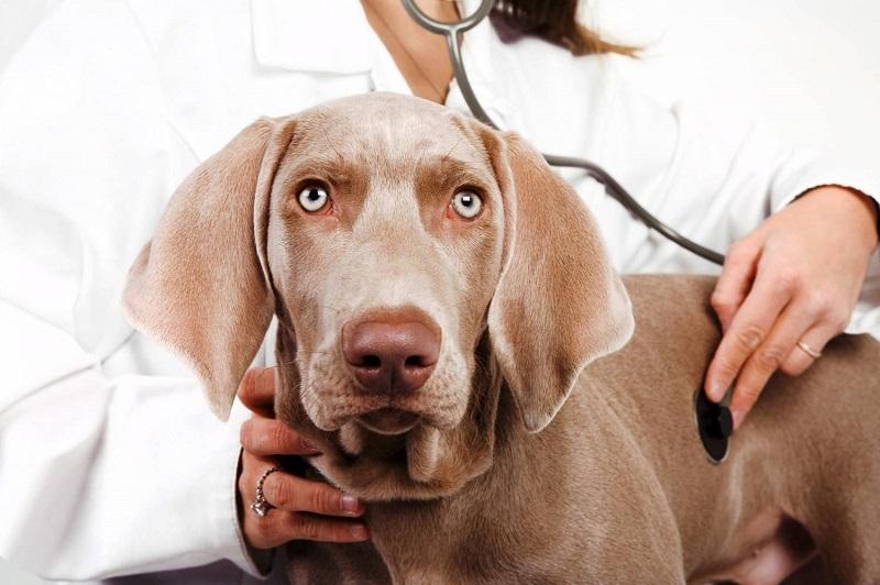 Пес на приеме у ветеринара