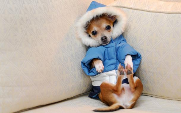 Мини той сидит в курточке