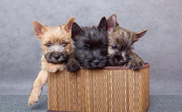 Черный, серый и рыжий щенки керн-терьера