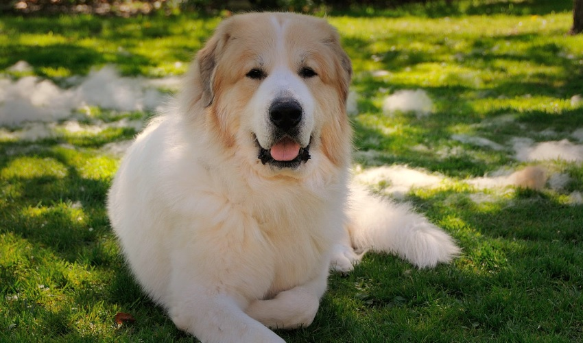 Пиренейская горная собака лежит на траве